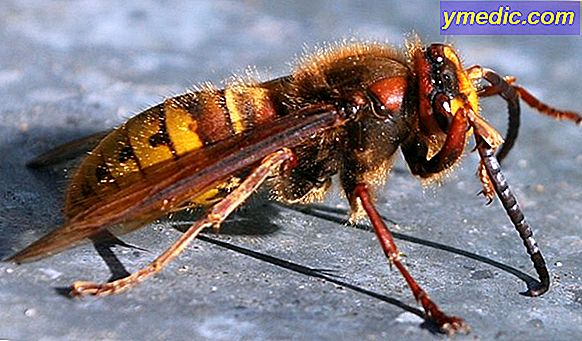 Asian Hornet: che cosa fare in caso di foratura