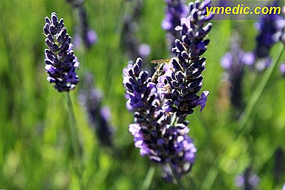 Lavender officinale
